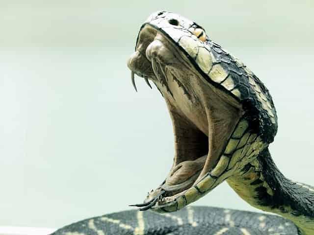 蛇が大口開けている
